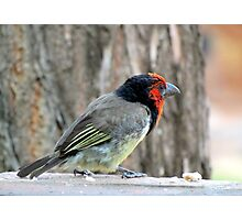 Black collared barbet Photographic Print