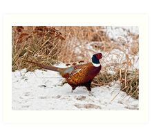 Ringed Neck Pheasant Art Print
