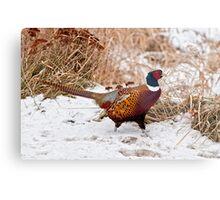 Ringed Neck Pheasant Metal Print