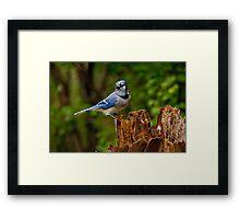 Blue Jay on Stump - Ottawa, Ontario Framed Print