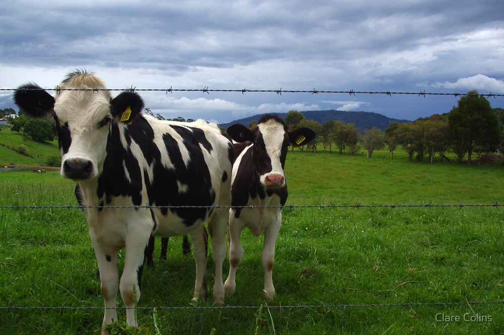 curious cows by Clare Colins