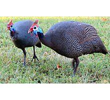 Poule pintade /  Poelpetaan / Guineafowl Photographic Print