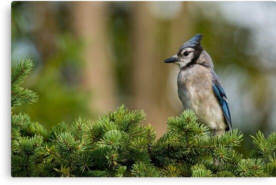 Blue Jay in Spruce Tree - Ottawa, Ontario by Michael Cummings
