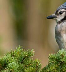 Blue Jay in Spruce Tree - Ottawa, Ontario Sticker