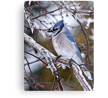 Blue Jay on Ice Covered Branch - Ottawa, Ontario Metal Print