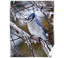 Blue Jay on Ice Covered Branch - Ottawa, Ontario Poster
