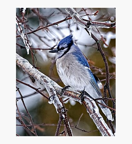 Blue Jay on Ice Covered Branch - Ottawa, Ontario Photographic Print
