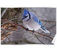 Blue Jay in Tree - Ottawa, Ontario Poster