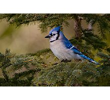 Blue Jay - Algonquin Park, Ontario Photographic Print