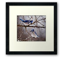 Blue Jays - Shirley's Bay, Ottawa Framed Print