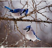 Blue Jays - Shirley's Bay, Ottawa Photographic Print