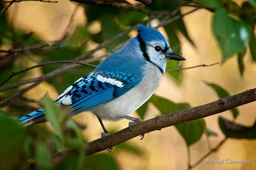 Blue Jay by Michael Cummings