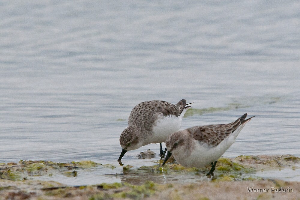 Sandpipers by Werner Padarin