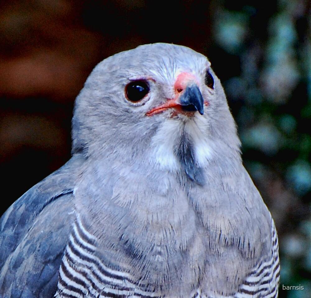 Perergrine Falcon by barnsis