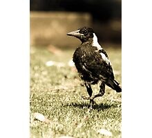 The Scraggly Magpie  Photographic Print