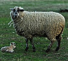 The Tinyest Lamb and Moma On Guard by nikongreg