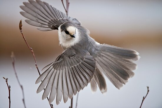 Gray Jay Take Off by Michael Cummings