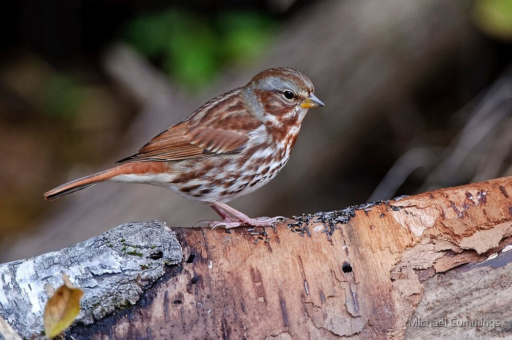 Fox Sparrow by Michael Cummings