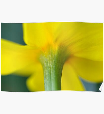 Daffodil Close Up Poster