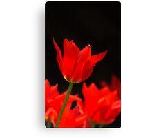 Red Tulip Black Background Canvas Print