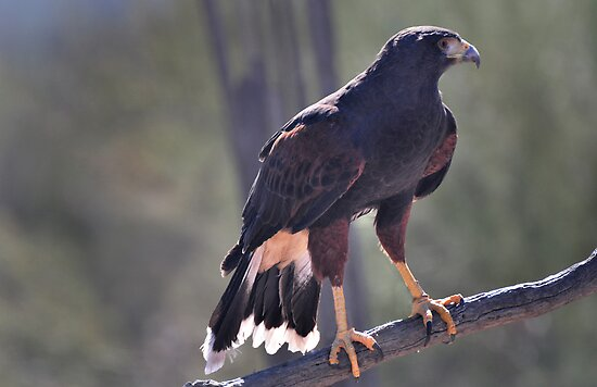 The Harris Hawk by Barbara Manis