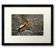 Evening Grosbeak On Pine 2 Framed Print