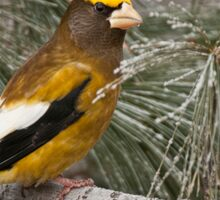 Evening Grosbeak On Pine 2 Sticker