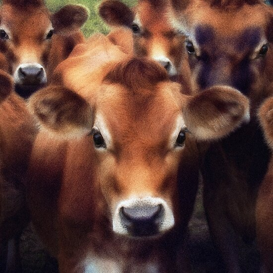 Cows by Nicky Stewart