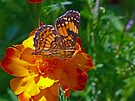 Pearl Crescent Butterfly by Susan S. Kline