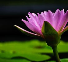 pink water lily, beauty in profile view by Gerry Daniel