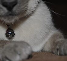 Close up of the Siamese by miami17