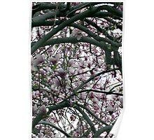 Magnolia Tree II Poster