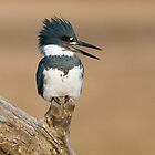 Perched Kingfisher - Stoney Creek Ontario, Canada by Raymond J Barlow