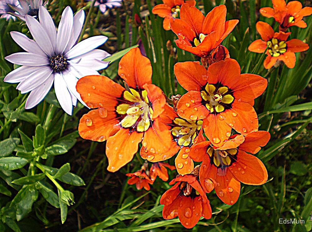 Ixias & Daisy - Sept. 2010 by EdsMum
