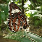 Orange Lacewing Butterfly (Cethosia penthesilea) by Dan & Emma Monceaux