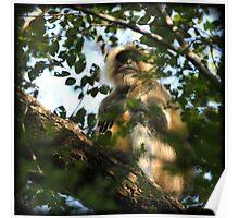 Male Hanuman Langur monkey Poster