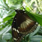 Varied Eggfly Butterfly (Hypolimnas bolina) by Dan & Emma Monceaux