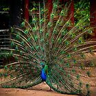 """""""The Eyes are Watching"""" - Peacock by Sophie Lapsley"""