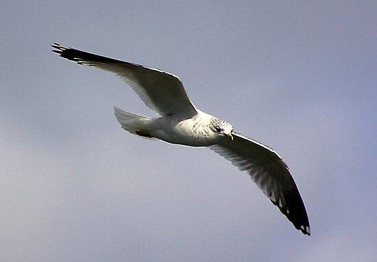 Common Gull by Trevor Kersley