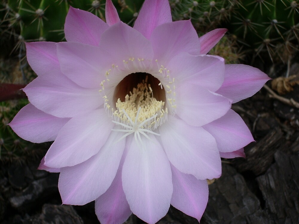 One night stand! (Echinopsis hybrid) by yeuxdechat