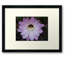 One night stand! (Echinopsis hybrid) Framed Print