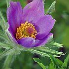 Pasque flower by suomarja