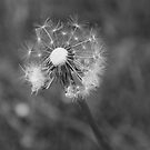 Dandelion Clock by Stephen Knowles