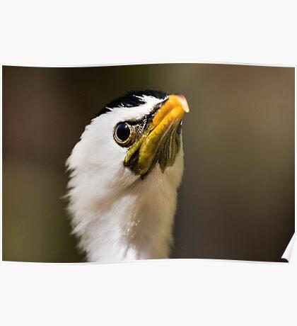 Phalacrocorax melanoleucos - Little pied comorant  Poster