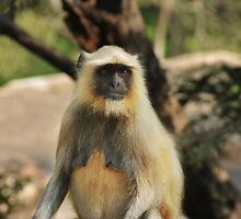 female  Hanuman Langur monkey by Catherine Ames