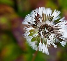 Dandelion Leftover by Karen Havenaar