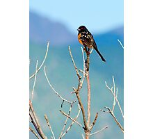 Spotted Towhee Photographic Print