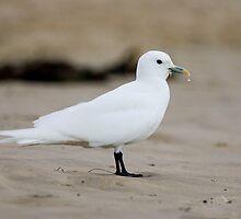 Ivory Gull by kiwifoto
