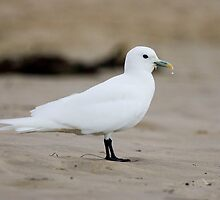 Ivory Gull by kiwifoto