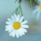 daisy 01 by suzdehne